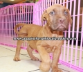 Dogue De Bordeaux puppies for sale in Georgia Local Breeders (3)
