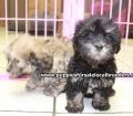 Shih Poo puppies for sale in Georgia Local Breeders (1)
