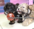 Shih Poo puppies for sale in Georgia Local Breeders (21)