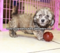 Shih Poo puppies for sale in Georgia Local Breeders (22)