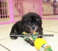 Shih Poo puppies for sale in Georgia Local Breeders (24)