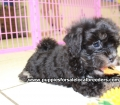 Shih Poo puppies for sale in Georgia Local Breeders (26)