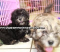 Shih Poo puppies for sale in Georgia Local Breeders (29)