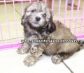 Shih Poo puppies for sale in Georgia Local Breeders (2)