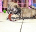 Shih Poo puppies for sale in Georgia Local Breeders (40)