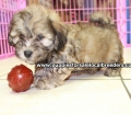 Shih Poo puppies for sale in Georgia Local Breeders (42)