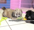 Shih Poo puppies for sale in Georgia Local Breeders (9)