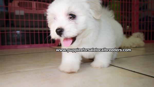 Beautiful little Havanese, Puppies For Sale, Georgia Local Breeders