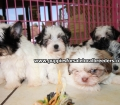 Morkie puppies for sale in Georgia (10)