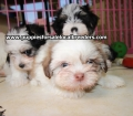 Morkie puppies for sale in Georgia (16)