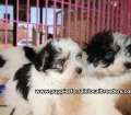 Morkie puppies for sale in Georgia (17)