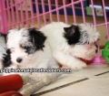 Morkie puppies for sale in Georgia (18)