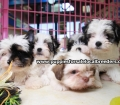 Morkie puppies for sale in Georgia (1)