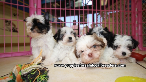 Tri Color Morkie Puppies For Sale, Georgia Local Breeders, Near Atlanta, Ga