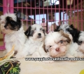 Morkie puppies for sale in Georgia (5)