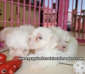 Maltese puppies for sale in Georgia (10)