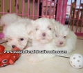 Maltese puppies for sale in Georgia (11)
