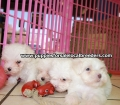 Maltese puppies for sale in Georgia (13)