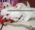 Maltese puppies for sale in Georgia (16)