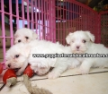 Maltese puppies for sale in Georgia (17)