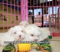 Maltese puppies for sale in Georgia (1)