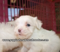 Maltese puppies for sale in Georgia (22)
