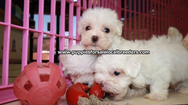 Precious Small Maltese Puppies For Sale, Georgia Local Breeders, Near Atlanta, GA