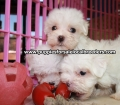 Maltese puppies for sale in Georgia (24)