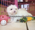 Maltese puppies for sale in Georgia (8)