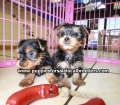 Yorkie puppies for sale in Georgia (11)