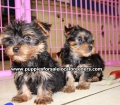 Yorkie puppies for sale in Georgia (14)