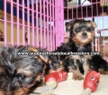 Yorkie puppies for sale in Georgia (1)