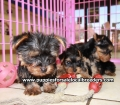 Yorkie puppies for sale in Georgia (2)