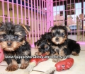 Yorkie puppies for sale in Georgia (3)