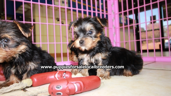 Beautiful Small Yorkie Puppies For Sale Georgia Local Breeders