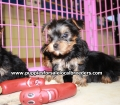 Yorkie puppies for sale in Georgia (4)