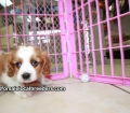 Cavalier King Charles Spaniel puppies for sale in Ga (2)