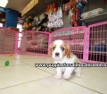 Cavalier King Charles Spaniel puppies for sale in Ga (5)