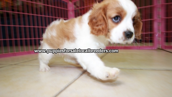 White and Red Cavalier King Charles Spaniel Cavalier King Charles Spaniel Puppies For Sale, Georgia Local Breeders, Near Atlanta, Ga