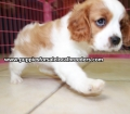Cavalier King Charles Spaniel puppies for sale in Ga (8)
