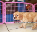 Cavalier King Charles Spaniel puppies for sale in Ga (9)