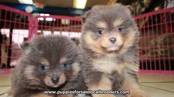 Blue Pomeranian Puppies For Sale, Georgia Local Breeders