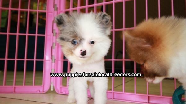 So Precious Pomeranian Puppies For Sale Georgia Local Breeders