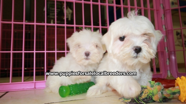 Sweet little Maltese Puppies For Sale, Georgia Local Breeders, Near Atlanta, GA