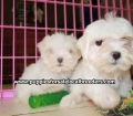 Maltese puppies for sale near Atlanta, Ga (12)