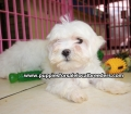 Maltese puppies for sale near Atlanta, Ga (8)