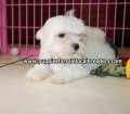 Maltese puppies for sale near Atlanta, Ga (9)