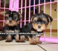 Teacup Yorkie puppies for sale Atlanta, Ga (10)