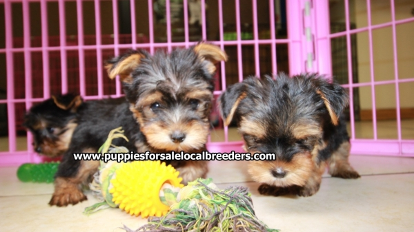 Perfect Tcup Yorkie Puppies For Sale Georgia Local Breeders Near