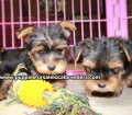 Teacup Yorkie puppies for sale Atlanta, Ga (11)